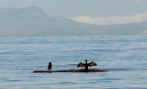 cormorants 1 (600x364)