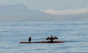 cormorants 1 (600x364)