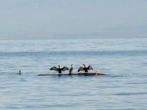 cormorants 2 (600x448)