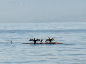 cormorants 2 (600x448)