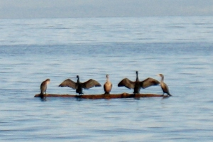 cormorants 3 (600x400)