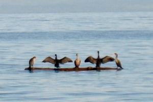 cormorants 3 (600x400)