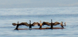 cormorants 4 (600x288)
