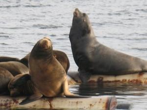 sea lions (600x450)
