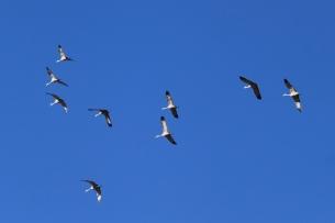 joan's sandhill cranes