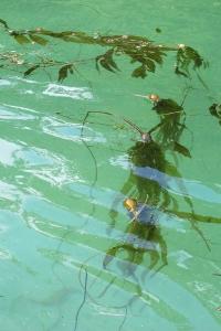 bull kelp (200x300)