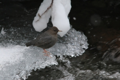 dipper-on-ice-2-600x400