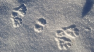 snowshoe-hare-400x225